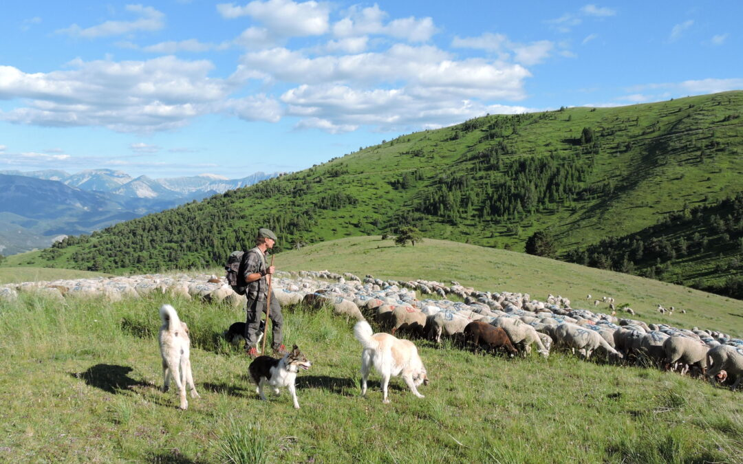 Émilie Richard-Frève – Les bergers ovins transhumants du sud-est de la France aux prises avec la bureaucratisation d'un métier-passion – 18 décembre 2020